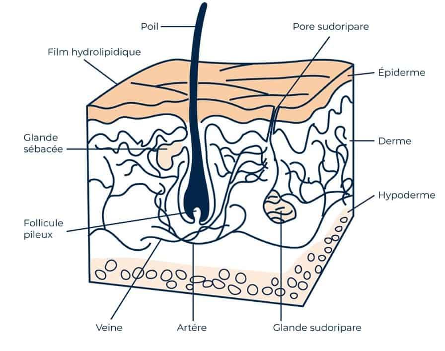 dessin explicatif d'une coupe de peau