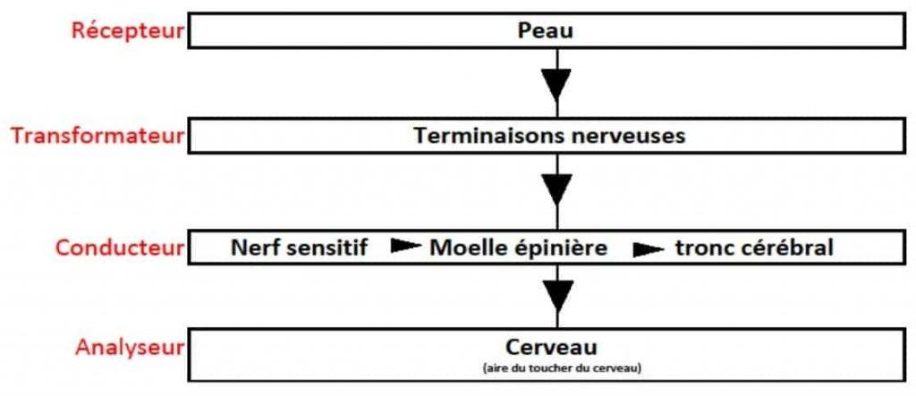 schéma des actions des nerfs et du système nerveux de la peau